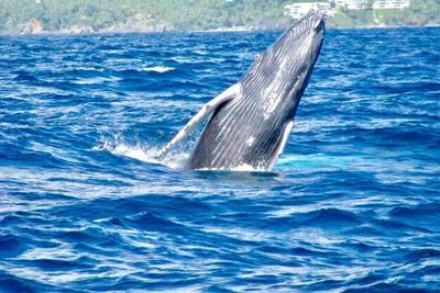 Walbeobachtung in der Dominikanischen Republik