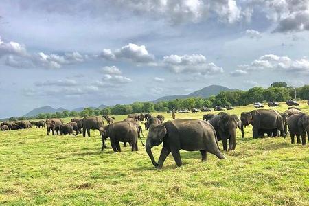 Todo incluido Safari privado en el Parque Nacional Minneriya