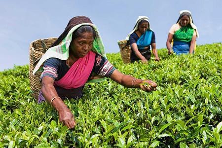 Desplume de té y visita a la fábrica de té de Nuwara Eliya.